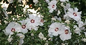hibiskus beste sorten mein schoner garten With französischer balkon mit mein schöner garten abo vergleich