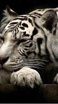 Sleeping white Siberian Tiger | Best Animal Pics of All ...