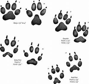 Identifying Wild Animal Paw Prints   www.pixshark.com ...