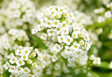 sweet alyssum growing and caring for sweet alyssum plants