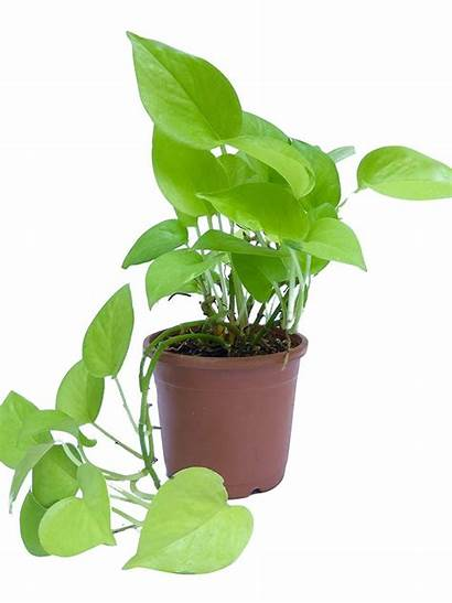 Money Plant Plants Indoor Golden Pot Root