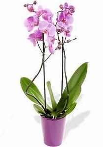 Comment Soigner Une Orchidée : comment choisir une orchid e phalaenopsis paperblog ~ Farleysfitness.com Idées de Décoration