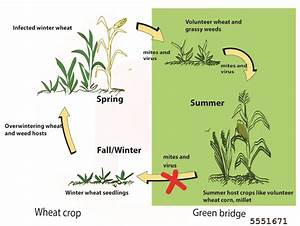 Mites Alimentaires Cycle De Reproduction : wheat streak mosaic bugwoodwiki ~ Dailycaller-alerts.com Idées de Décoration