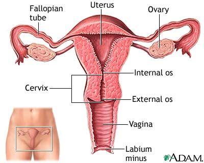 Anatomi Kandungan Wanita Vagina Microbewiki