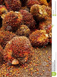 Oil Palm Fruit Stock Photo  Image Of Fruit  Environment