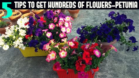how to maintain petunias how to keep your petunias looking full and flowering petunia care youtube