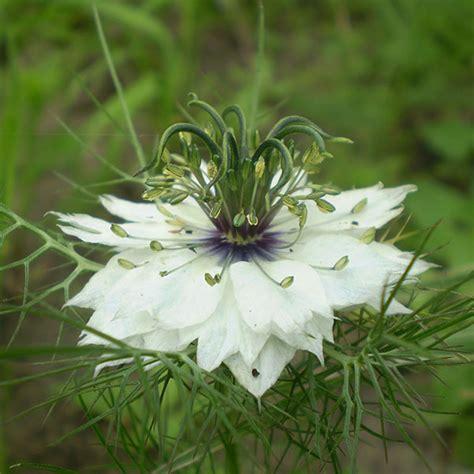 Love in a Mist Seeds (Nigella damascena)