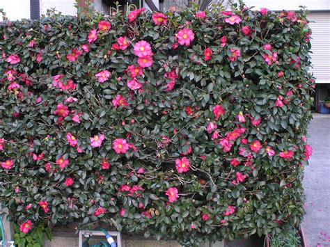 flowering hedge plants flowers 187 camellia japonica