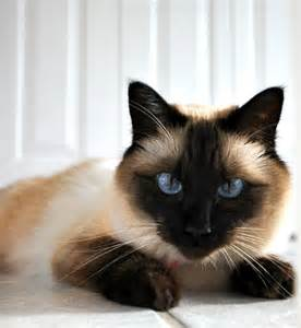 balinese cat balinese cat breeders balinese kittens for