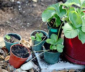 Plant Avenue: Growing Strawberry Runners