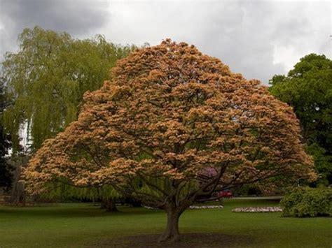 cuisine en famille l 39 érable sycomore un arbre majestueux