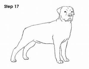 Rottweiler Drawing 17
