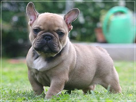 do bulldogs shed 20 low maintenance breeds