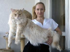 coon cats 16 maine coon cats that will make your cat look tiny