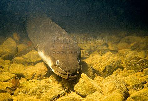 Longfin Eel (anguilla Dieffenbachii) On River Bottom, Mt Bruce, Masterton, New Zealand (nz