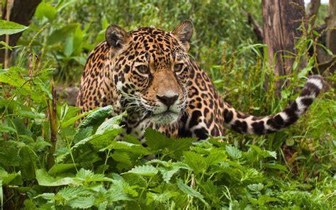 Rainforest Animal Wallpaper - tropical rainforest animals jaguar jaguar wallpapers