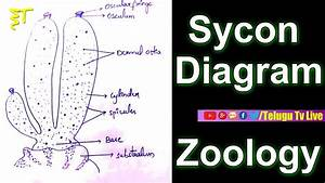 Sycon Diagram  Zoology  Diagrams