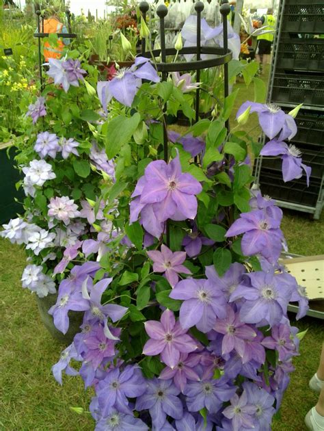 can i grow clematis in a pot can i grow clematis in a pot 28 images in containers on balconies and terraces potted
