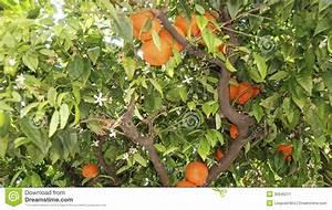Baum Mit Blüten : baum mit bl ten und orangen stockbild bild 35945211 ~ Frokenaadalensverden.com Haus und Dekorationen