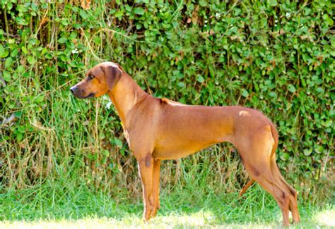 Do Rhodesian Ridgebacks Drool by 15 Breeds That Don T Bark Excessively And Will Keep