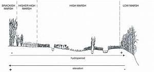 16 Zonation Of Tidal Salt Marsh Vegetation In Herb