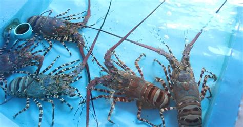 farming lobster crab mud