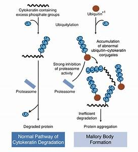 Intracellular Proteolytic Systems
