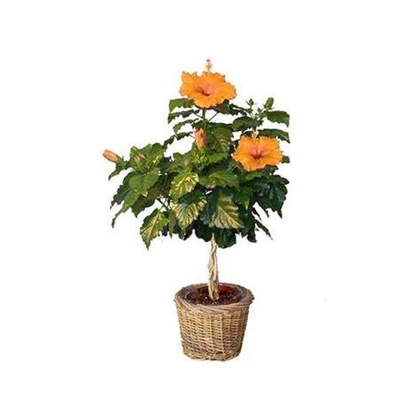hibiscus tige orange cache pot gt gt livraison express plantes et jardins