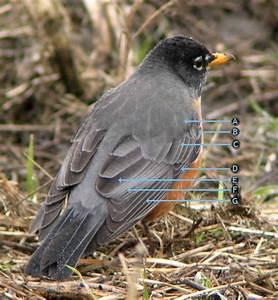 Robin Bird Feather