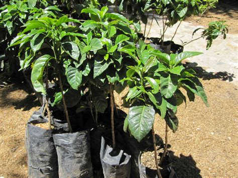Guide To Growing Coffee At Home