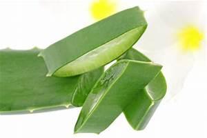 Arrosage Aloe Vera : alo vera culture entretien et r colte du gel ~ Nature-et-papiers.com Idées de Décoration