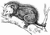 Opossum Drawing Coloring Sketch Template Galleryhip Credit Larger sketch template