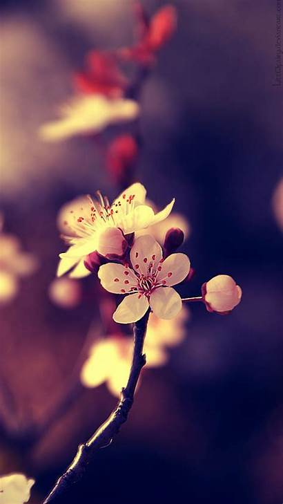 Cherry Close Wallpapers Smartphones Blossoms Resolution