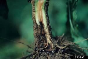 Phytophthora Blight  Phytophthora Capsici   On Pepper
