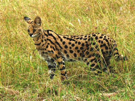 Pictures of African Serval Pet - #catfactsblog