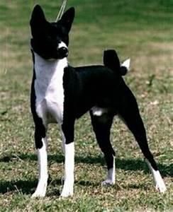 1000+ images about Basenji's on Pinterest | Basenji dogs ...