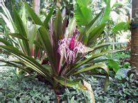 Crinum Search Results from the Hawaii Tropical Botanical ...