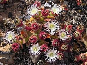 File:Unk desert flower 2.jpg - Wikimedia Commons