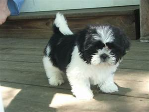 shih tzu puppies | Shih-tzu Puppies in PA | Favorite Shih ...