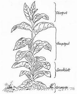 Tabak Selber Anbauen : tabak qualit ten obergut hauptgut sandblatt und grumpen tabakbl tter ~ Frokenaadalensverden.com Haus und Dekorationen