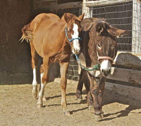 donkey breaking halter horses quarter olena chic smart colt tsquarterhorses