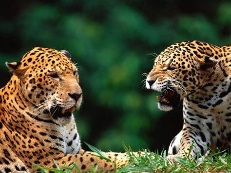 pictures jaguar cat jaguar pictures pics images and photos for your