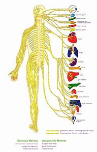 Beginner U2019s Guide To The Human Nervous System