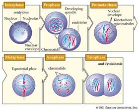 Animal Cell Undergoing Mitosis