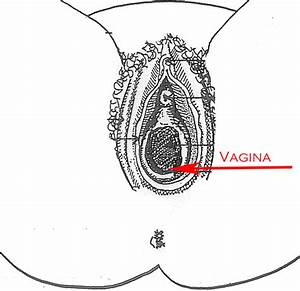 Female Reproductive System  External View  With Diagrams