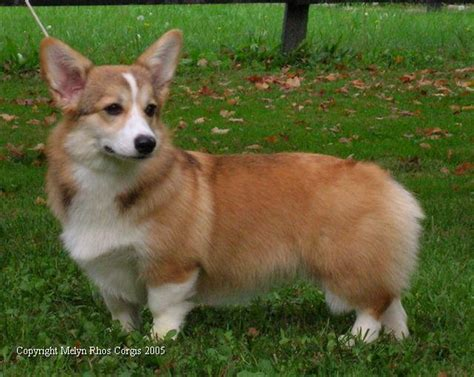 Are Corgis Good Family Dogs?