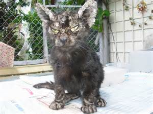 cat mange zhou zhou a stray cat with mange 171 animalcare