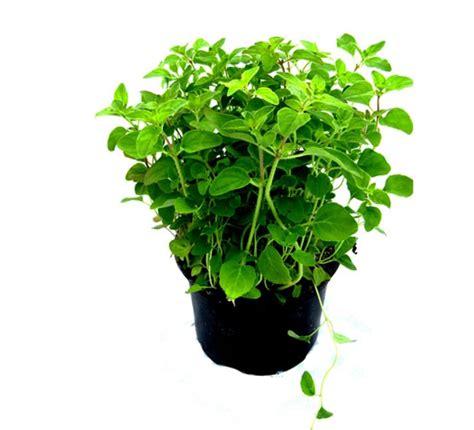 gemüse anbauen hochbeet majoran lexikon f 252 r kr 228 uter und pflanzen