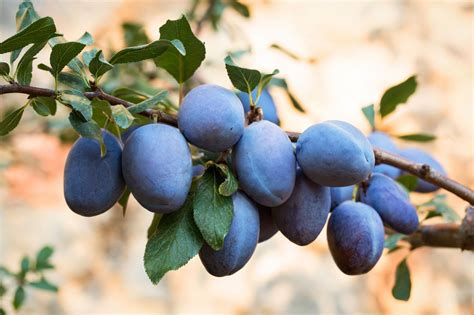 Tips On How To Grow A Plum Tree