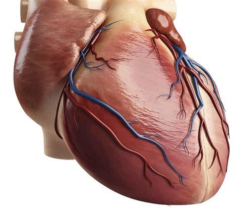 cardiac muscle science learning hub